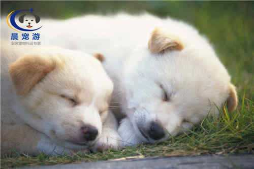 狗狗得了狗瘟如何治疗 最有效的犬瘟治疗方法
