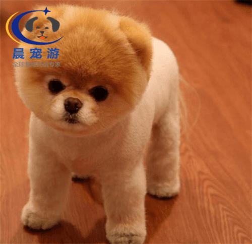 宠物狗—博美犬