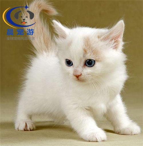 怎么训练斯可可猫不乱抓家具 训练宠物猫不碰家的家居
