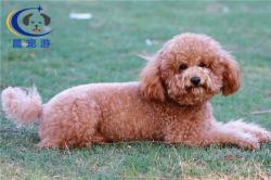 狗狗巨型贵宾犬托运-宠物托运公司
