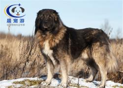 狗狗高加索托运托运-宠物托运公司