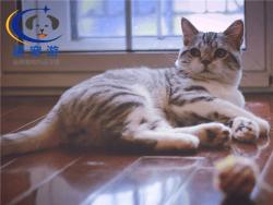 猫猫美国短尾猫托运