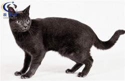 猫猫俄罗斯蓝猫托运