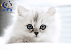 猫猫波斯猫托运