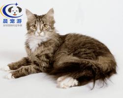 猫猫西伯利亚森林猫托运