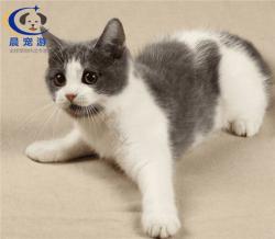 奶猫英短猫托运