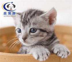 奶猫美短猫托运