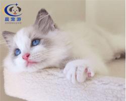 奶猫布偶猫托运