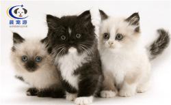 奶猫波斯猫托运
