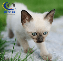 奶猫暹罗猫托运