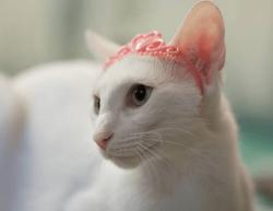 奶猫东方猫托运