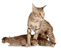 奶猫奥西猫托运