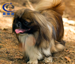 狗狗北京犬托运-宠物托运公司
