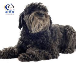 狗狗比利牛斯牧羊犬托运-宠物托运公司