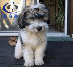 狗狗波兰牧羊犬托运-宠物托运公司