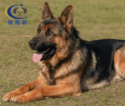 德国牧羊犬托运-宠物托运公司