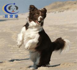 狗狗边境牧羊犬托运-宠物托运公司
